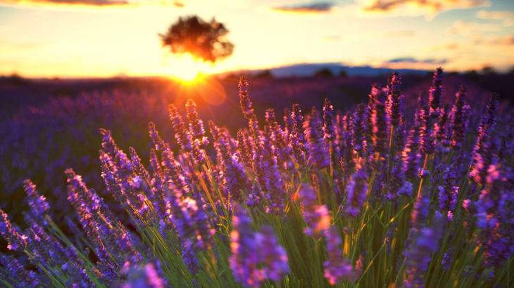 The Lavender route in Provence, France.   With setting sun giving sunburst from behind a tree.