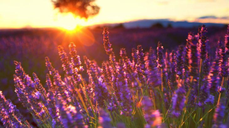 lavender4